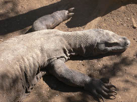 A Komodo Dragon rests in this position (kidcyber image)