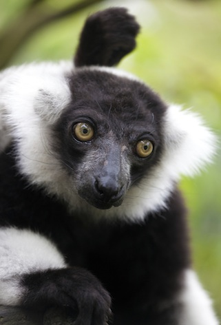 Black and white ruffed lemur ©Getty Images
