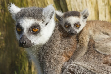 Baby ring-tailed lemur on its mother's back.