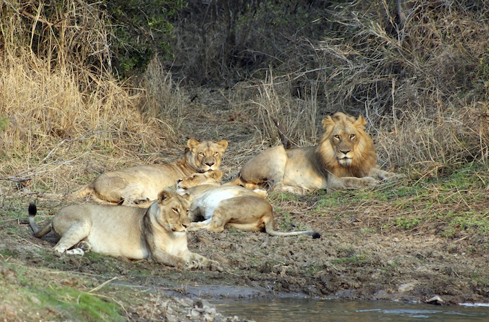 A pride of lions resting ©Getty Images