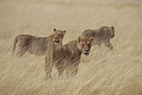 Females work as at team to hunt prey ©Getty Images