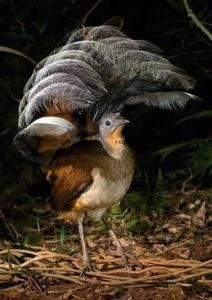 Male Albert's lyrebird