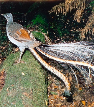 Male superb lyrebird ©Getty Images