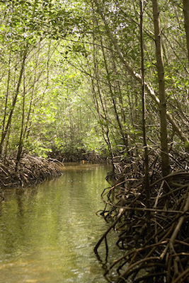 Mangrove forest. Photo©Getty Images