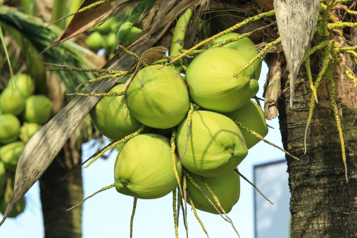 Coconuts growing on a coconut tree Getty images