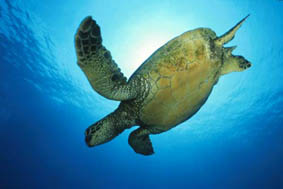 Green sea turtle ©Getty Images