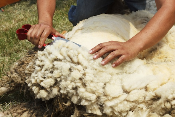 Shearing by hand. ©Getty Images