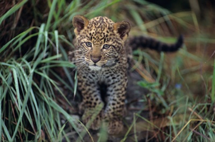 A leopard cub in long grass © Getty Images