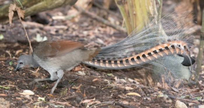 Male superb lyrebird scratching for food ©Getty Images