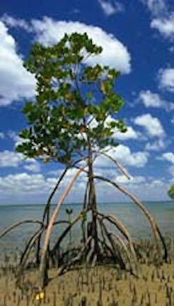 Mangrove tree. Photo©Getty Images
