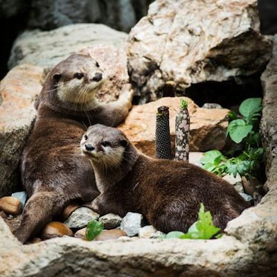 Smooth-coated otters ©Getty Images
