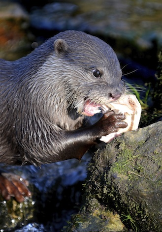 Asian short-clawed otter feeding ©Getty Images