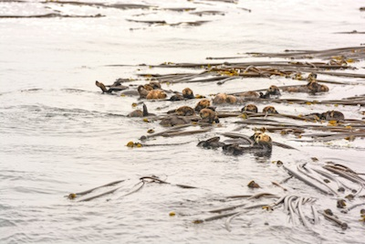 A raft of sea otters in a bed of kelp ©Getty Images