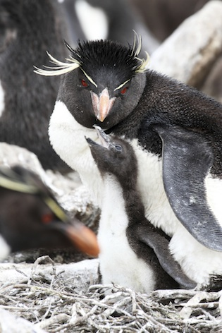 Rockhopper penguin and chick. ©Getty Images