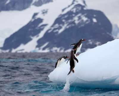 Gentoo penguins jumping out of the sea onto ice shelf. ©Getty Images
