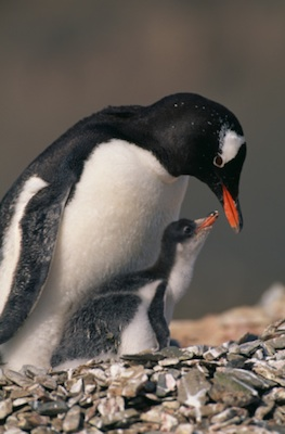 Gentoo penguin and chick. ©Getty Images