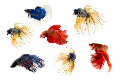 Siamese fighting fish are brightly coloured ©Getty Images