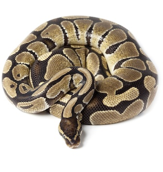 Ball python ©Getty Images