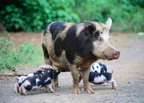 Pigs have different colours and patterns ©Getty Images