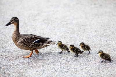 Ducklings following the mother duck. ©Getty Images