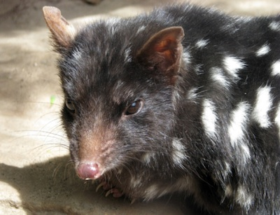 Eastern quoll. ©Getty Images