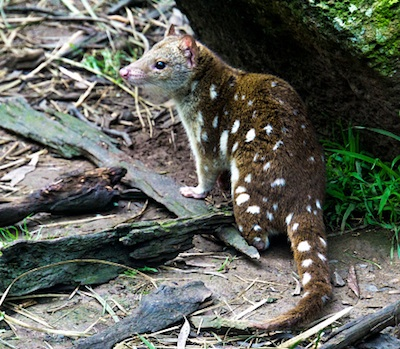 Spotted tail quoll. ©Getty Images