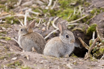 Wild rabbits at a burrow entrance ©Getty Images