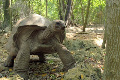 Giant tortoise. ©Getty Images