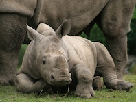 White rhino calf just weeks old. The horn is beginning to grow. See the square lip. ©kidcyber