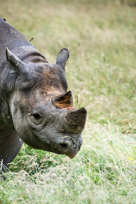 Black, or hook-lipped, rhinoceros. ©Getty Images