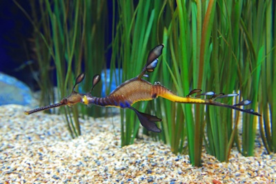 Weedy sea dragon. ©Getty Images