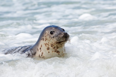 A harbour seal coming ashore in Germany. ©Getty Images