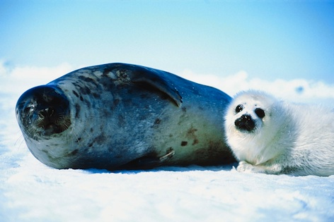 A harp seal and her pup. ©Getty Images