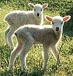 Many lambs are born in spring © Getty Images