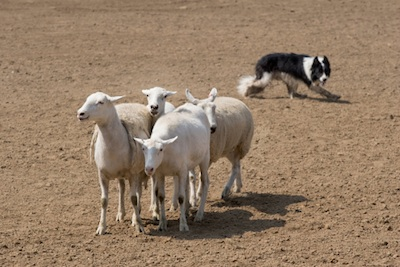 Sheepdogs move sheep to where the farmer tells them. ©Getty Images
