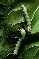Silkworms eat only mulberry leaves