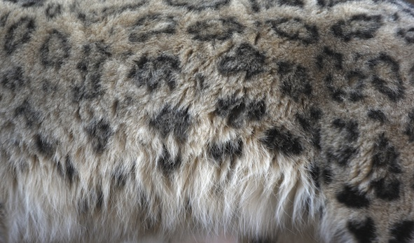 Snow leopard markings on its thick fur ©Getty Images