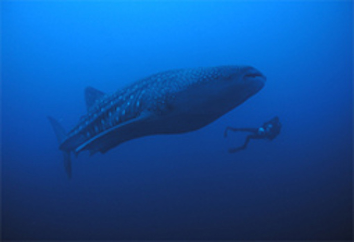 Whale shark, the biggest shark. Compare its size with that of the diver. ©Getty Images