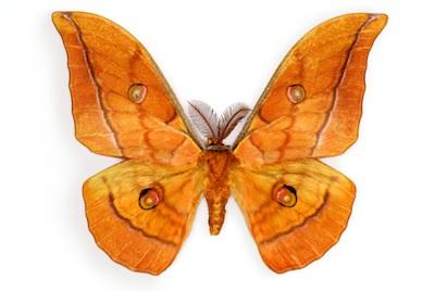 A silk moth. Jupiter Images
