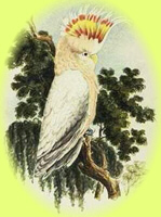 A watercolour painting by Major Sir Thomas Mitchell of a Major Mitchell's Cockatoo
