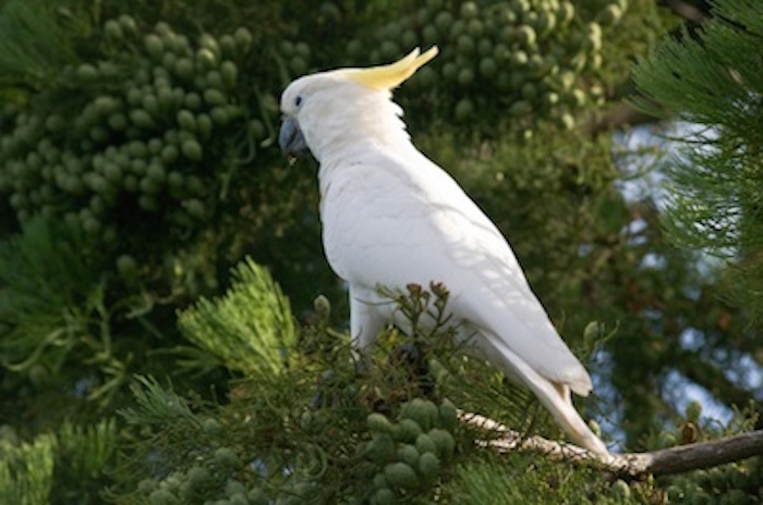 Sulphur-crested cockatoo with crest closed ©Getty Images