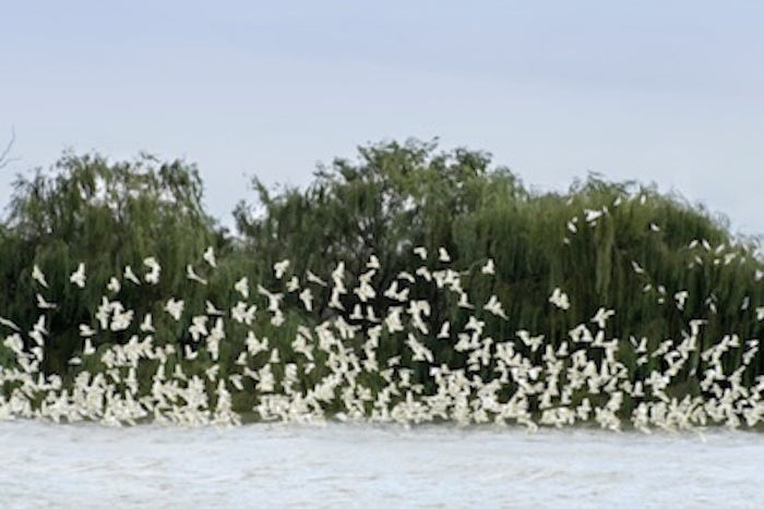 A flock of wild sulphur-crested cockatoos. ©Getty