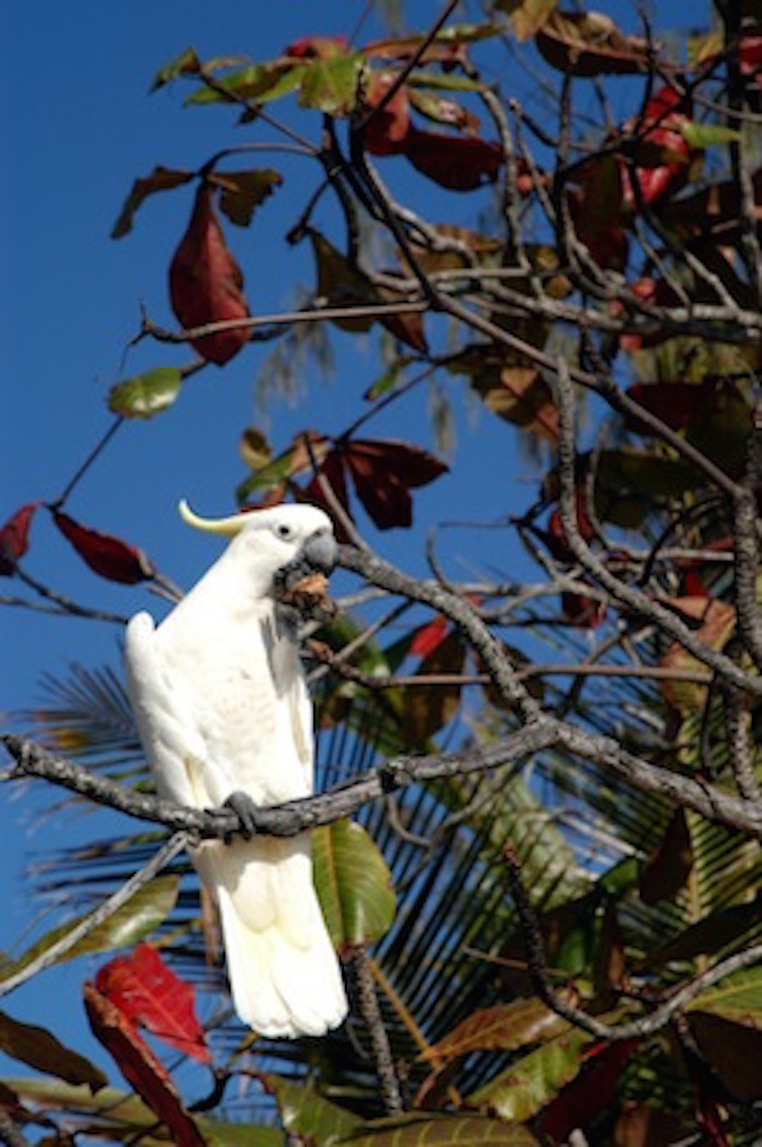 Wild cockatoo feeding in a tree. Getty Images