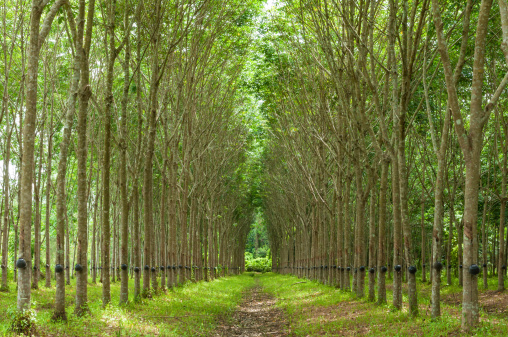 Natural rubber comes from trees planted in huge plantations.