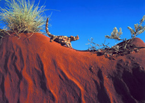 The thorny devil is about 20cm in size. Getty Images