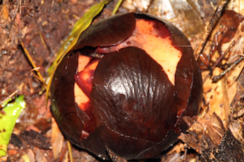 The bud of rafflesia arnoldii emerges through the bark of the host plant. © Getty Images