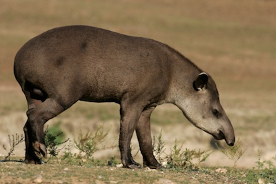 Brazilian tapir ©Getty Images