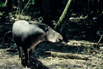 Baird's tapir ©Getty Images