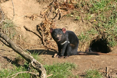 A Tasmanian devil outside its den. ©Getty Images