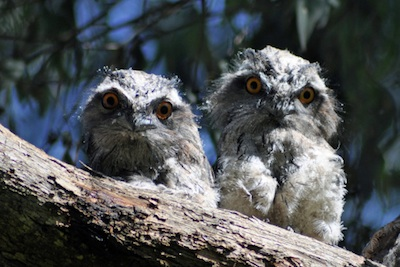 Young tawny frogmouths ©Getty Images